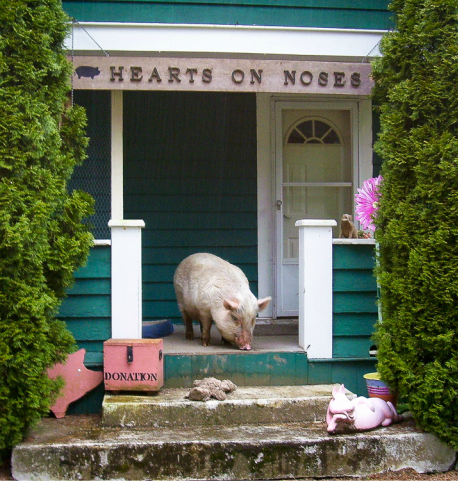 Hearts on Noses front door with a pig quietly sniffing the steps
